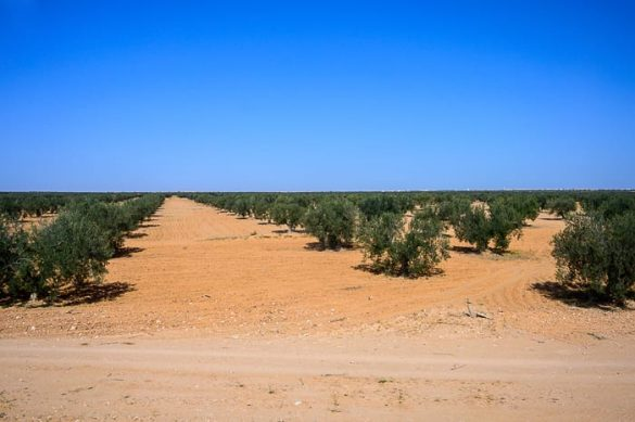nasad oljk, Tunizija