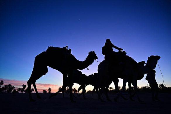 kamele ob sončnem zahodu v Sahari