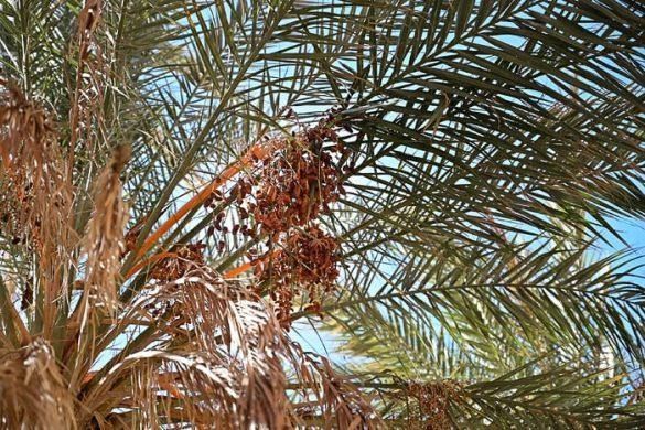 dateljni na palmi