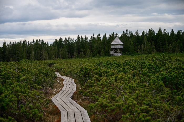 lesena potka med nizkimi borovci in lesen razgledni stolp v daljavi