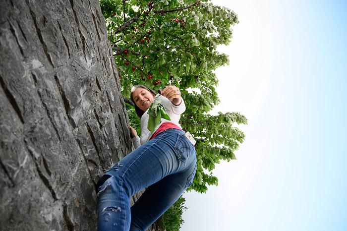 ženska pleza po kamnitem zidu in obira češnje