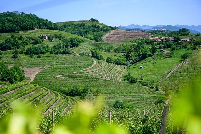 vinogradi Goriška Brda