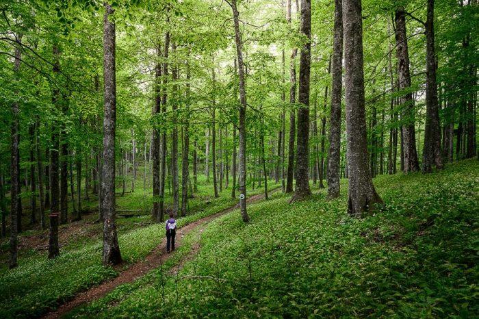 gozdna tla so prekrita z drobnimi belimi cvetki - čemažem