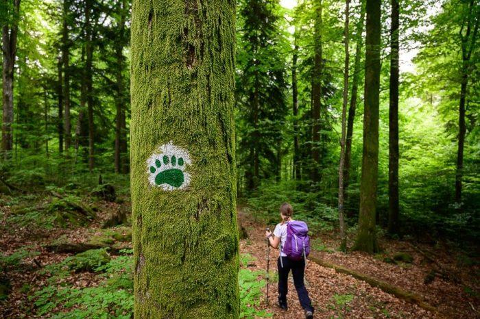 odtis medvedove šape na drevesu - znak za roško pešpot