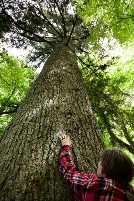 Kraljica Roga: drevo jelka