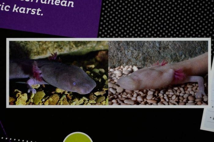črna človeška ribica in navadna človeška ribica