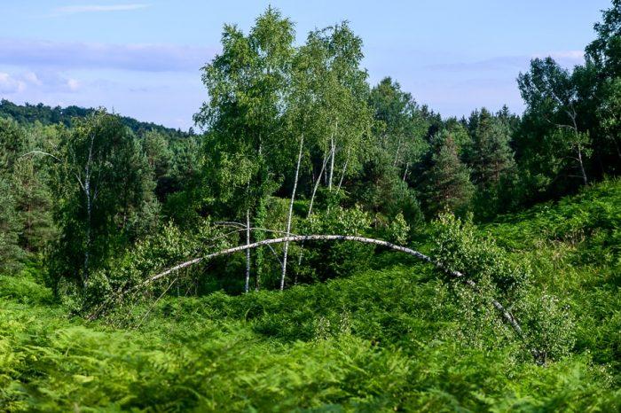 ukrivljena breza med visoko praprotjo