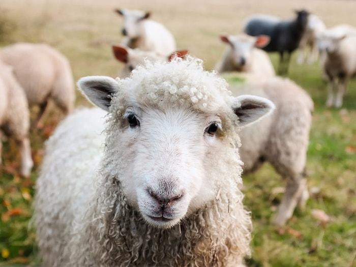 ovce na Irskem