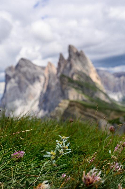 planika - bela gorska roža, v ozadju gore Dolomiti
