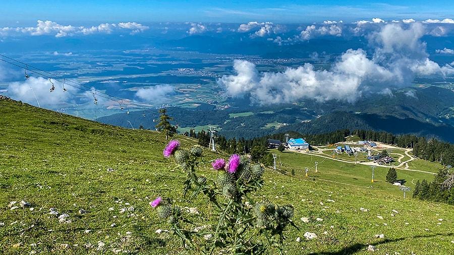 vijolična roža na gorskem travniku