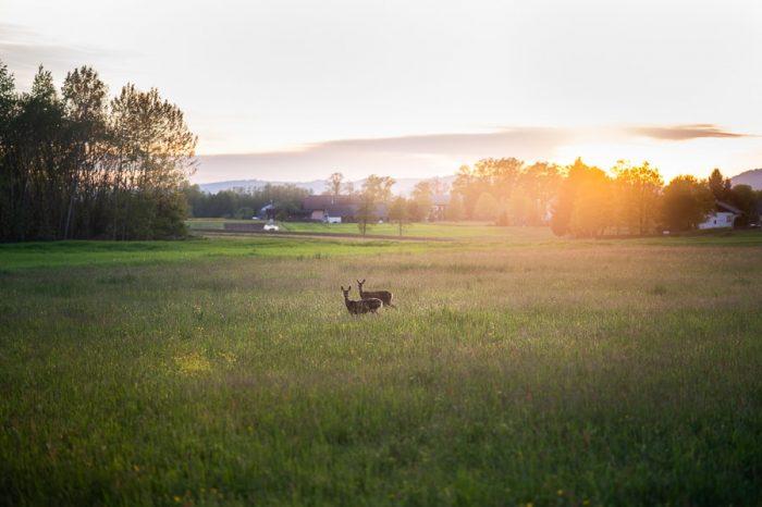 srnjad na travniku v večerni svetlobi