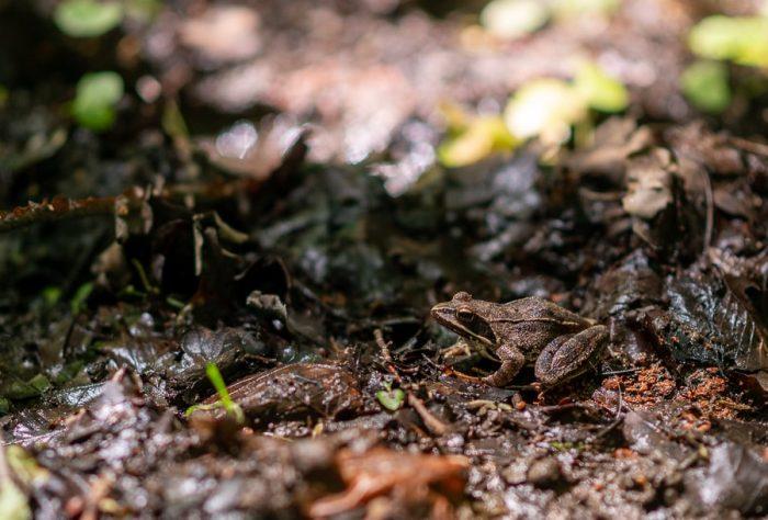 rjava žaba na gozdnih tleh