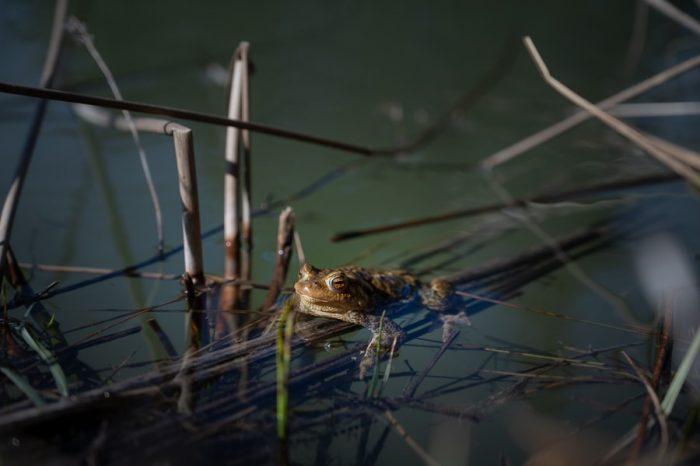 žaba na travni bilki v jezeru