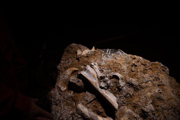 Kosti jamskih medvedov v Križni jami