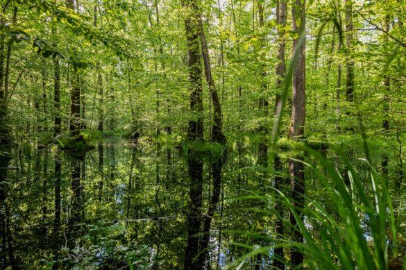 drevesa, ki rastejo iz vode. Krakovski pragozd, Kostanjevica na Krki