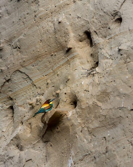 ptič čebelar, bee-eater