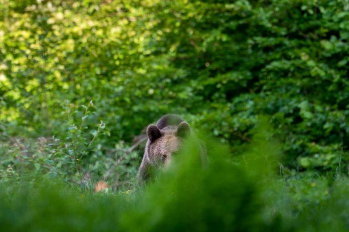 Medved prihaja proti opazovalnici. medved na travniku