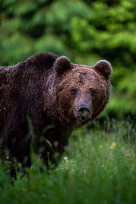 opazovanje medvedov v naravi, Romunija