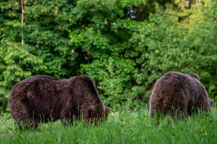 medvedka z mladičem na travniku