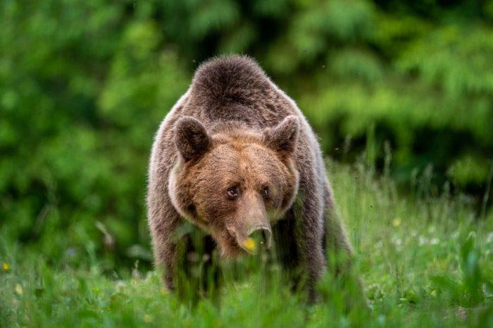 rjavi medved - opazovanje medvedov v naravi, Romunija