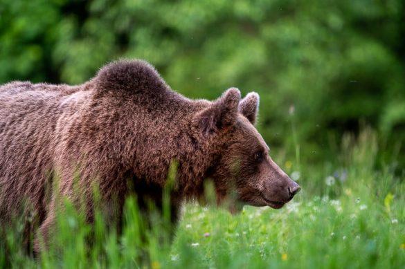 rjavi medved na travniku
