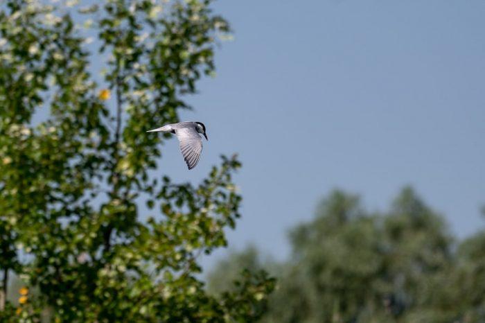 ptica v letu. Delta donave, romunija