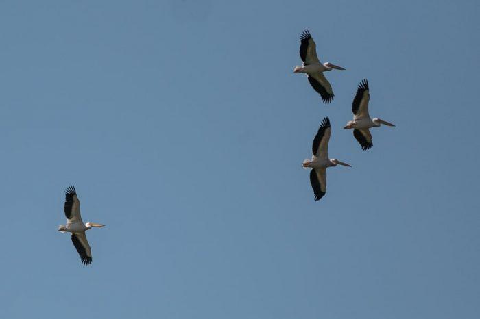 pelikani v zraku