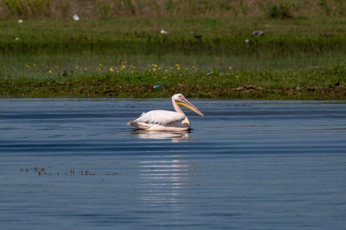 pelikan v močvirju. Delta Donavev