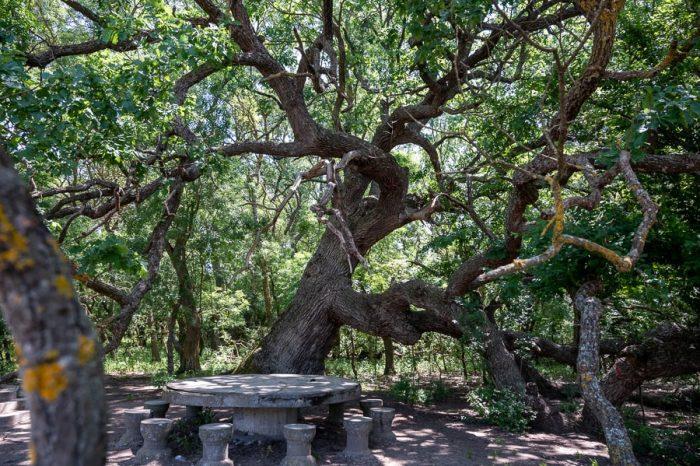 mogočen hrast ter kamnita miza s stoli pod njem. Caraorman, Delta Donave