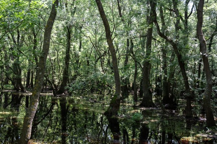 Popravljeni gozd, delta donave