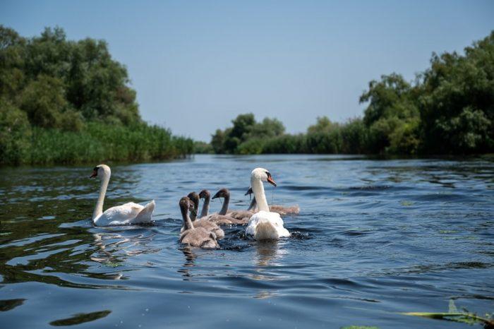 dva bela laboda in skupinica mladih sivih labodov