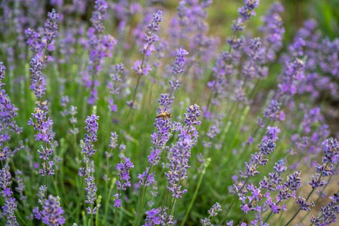 čebela v svetu sivke