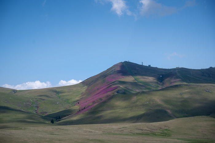 roza pobočje v gorah zaradi svetočega rododendrona. Bugegi, romunija