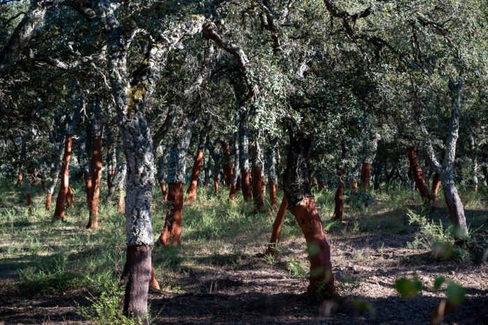 top znamenitosti Sardinije: hrast plutovec. Drevesa z olupljenim deblom